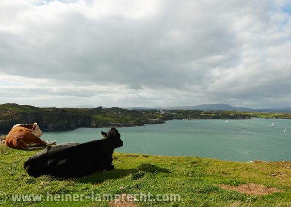 Ireland, where even cows enjoy the scenic view